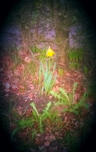 Daffodils are said to be the birthday flowers of March. I found this one in flower in January
